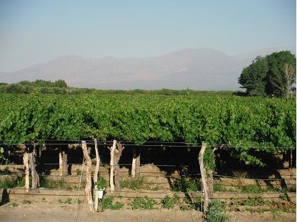 vignes de Cafayate