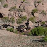 les mules qui montent le campement pour l'Aconcagua